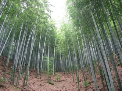 """ Bamboo Forest,"" Photgraphed by Noa & Amir."