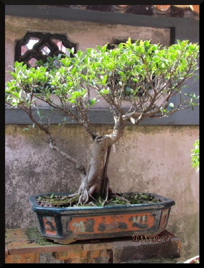 A penjing banyan enhancing the window of a Southern China garden.