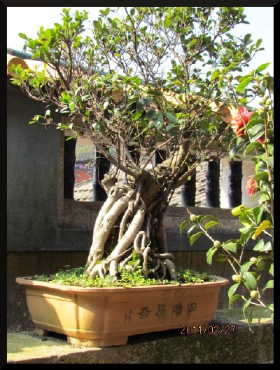 A penjing banyan, complimenting the window behind, in a Southern China garden.