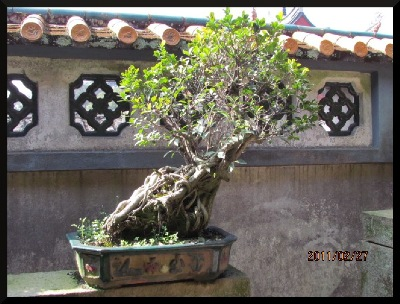 Penjing banyan, in a Southern China garden.