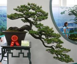 One of the prize winning Hanging Cliff Style penjing, displayed