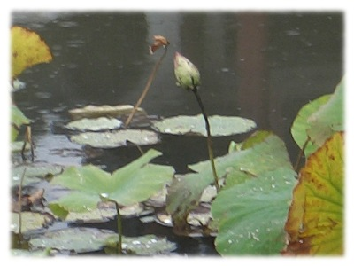An image of lotus buds, managing to emerge, even under what is obviously, harsh conditions.