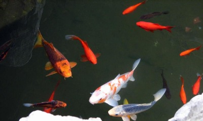 Another lovely image of garden pond fish, taken by Dr. Lin.