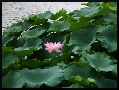 "A beautiful image of a garden pond lotus, which aptly could be titled "" Singleness of Purity."""