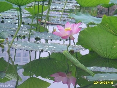 A beautiful photo of Lotus in a garden pond by Shtyle.fm friend and photographer Juan.
