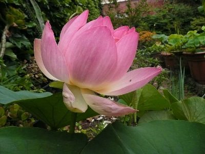 Beautifully captured bloom in the Serene Lotus Pavilion Garden.
