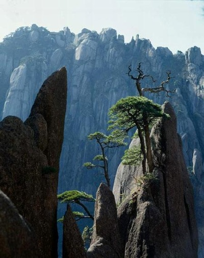 Huangshan Mountain top pines