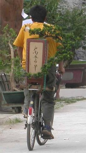 Chinese man taking a large hanging cliff style penjing to an exhibition, on the back of his bicycle.