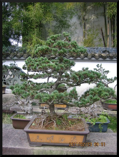 They [ the penjing ] ' blend in,' with the nature, that surrounds, them.