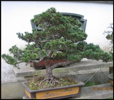 These delightful penjing, are not just here, for ' window dressing.'