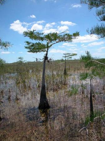 "An "" Everglades literati "" tree by tripadvisor photographer [ wnbamiamisol ] from Key Lago, Florida."