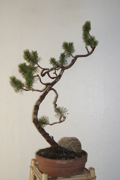 Mountain Pine penjing, by unknown artisan.